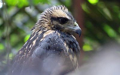 Unknown Hawk
