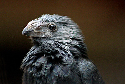 Grove-billed Ani