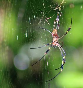 Golden Orb Spider