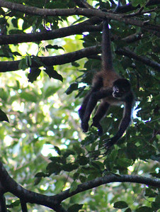 Central American Spider Monkey