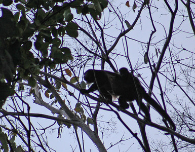 Mantled Howler Monkey with young