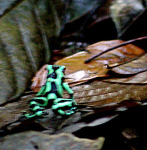 Black & Green Dart Frog