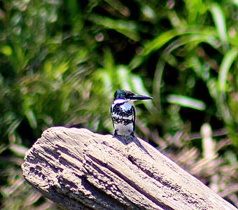 Green Kingfisher female