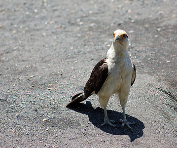 Yellow-headed Caracara  juvenile