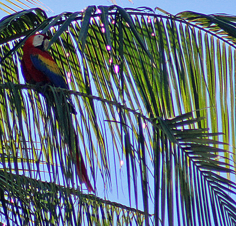 Permanent Guest -- Scarlet Macaw