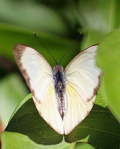Laviana White-Skipper Butterfly