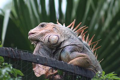 Green Iguana male