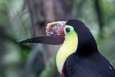 Injured Yellow-throated Toucan