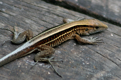 Four-lined Ameiva