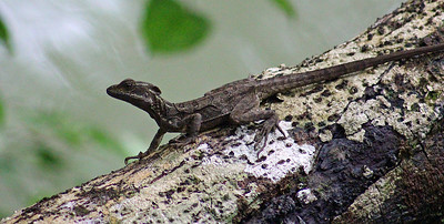 Unknown Lizard or Basilisk
