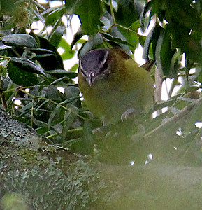 Rufous-capped Warbler - Maybe