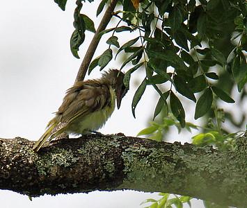 Yellow-bellied Elaenia juvenile