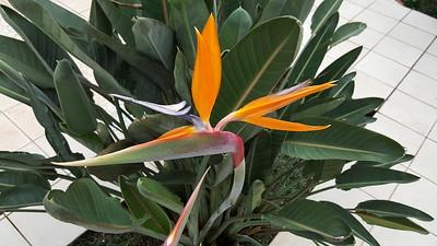 Bird of Paradise Heliconia