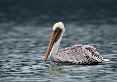 Brown Pelican mating adult