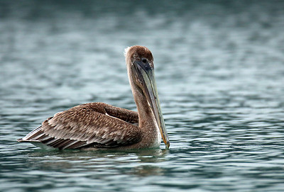 Brown Pelican non-mating adult