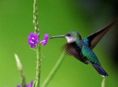 Charming Hummingbird