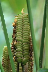 Rattlesnake Heliconia