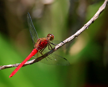 Central American Red Skimmer Dragonfly