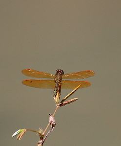 Eastern Amberwing Dragonfly - Male