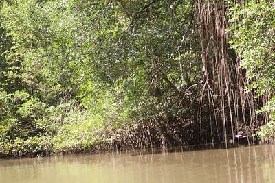 Lots of Mangroves