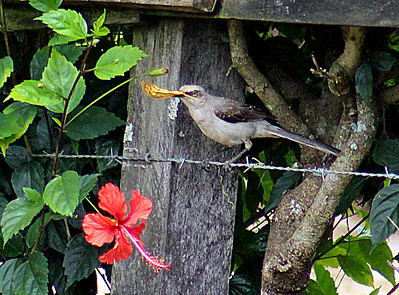 Tropical Mockingbird with flower petal