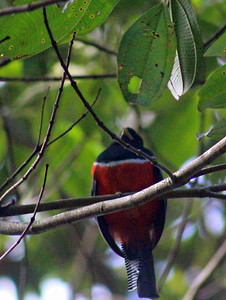 Collared Trogon male