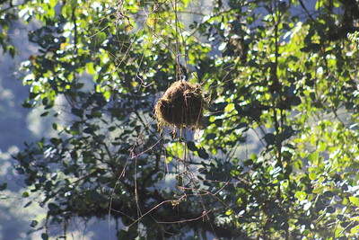 Nest of Red-faced Spinetail Bird