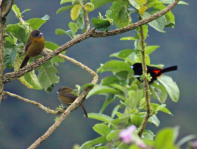 Passerini Tanagers, Male & 2 Females