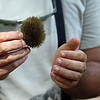 """Monkey Brush""  -  Seed used by monkeys to brush out insects, really!"