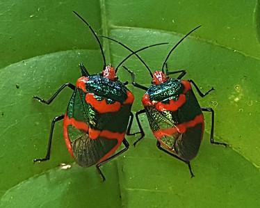 Jewel bug or Metallic shield bug (Scutelleridae)