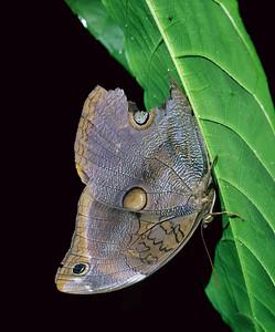 Blue Morpho Butterfly sleeping