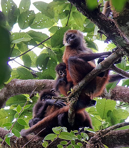 Central American Spider Monkeys, females with babies