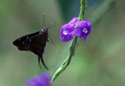 Teleus Longtail Butterfly