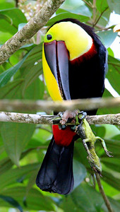 Yellow-throated Toucan Eating a Lizard