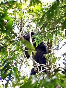 Black Mantled Howler Monkey