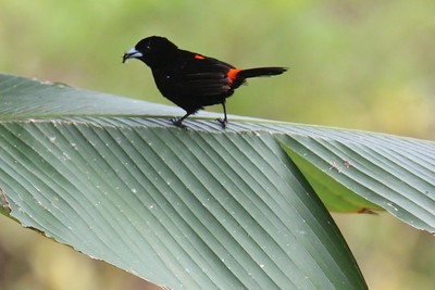 Scarlet-rumped Tanager (Cherrie's)