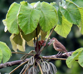 Clay-colored Thrush or Yigüirro