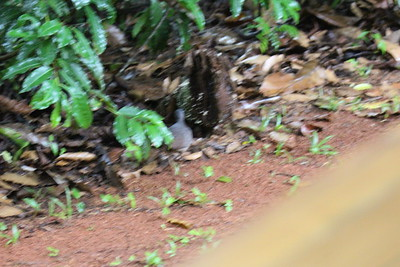 Gray-chested Dove - Maybe