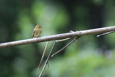 Variable Seedeater, Juvenile Female