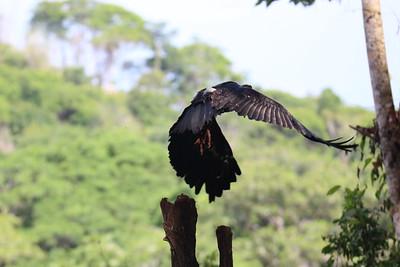 King Vulture Juvenile