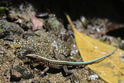 Central american Whiptail Lizard