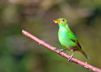 Green Honeycreeper, Female