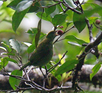 Rufous-winged Tanager, Female