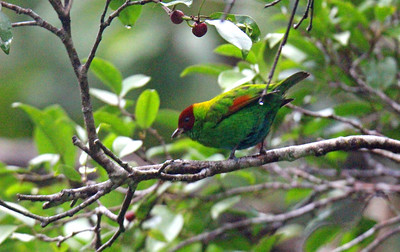 Rufous-winged Tanager, Male