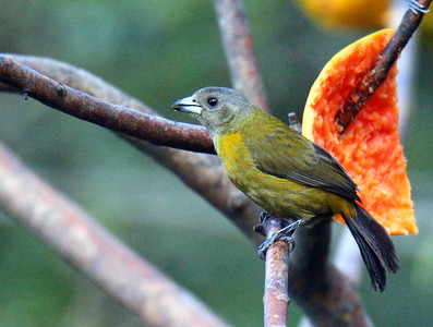 Scarlet-rumped Tanager, Passerini's, Female
