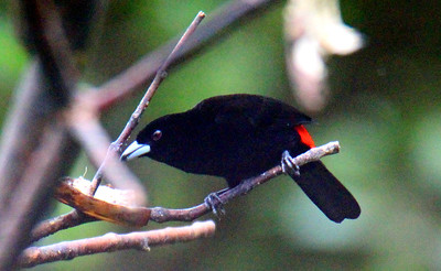 Scarlet-rumped Tanager, Passerini's, Male