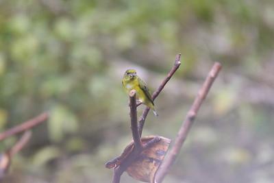 Yellow-throated Euphonia, Female