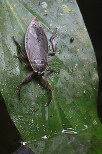 Water Cockroach