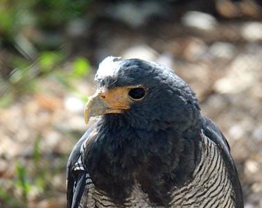 Barred Hawk -- Toucan Rescue Ranch