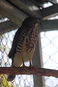 Roadside Hawk Juvenile -- Toucan Rescue Ranch